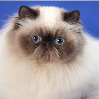 10th Best Cat in Championship - GC, DW MASKADO'S LET ME LOVE YOU - Br/Ow: Alla Ipatova