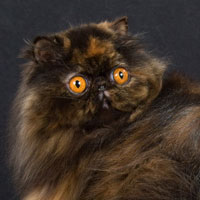 15th Best Cat in Championship - GC, DW KUORII TORTELLINI OF CUZZOE - Ow: Canal-Carnev-Peletier-Valencia