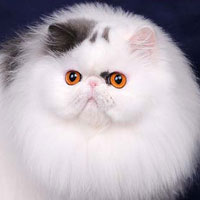 2nd Best Cat in Championship - GC, NW TOY TRICKSY LITTLE DIVA - Br/Ow: Galina Gurieva