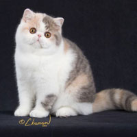 6th Best Kitten - DW	D'Eden Lover Giulietta