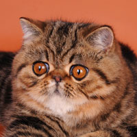 10th Best Kitten - GC, DW SYBARIT YETI - Br/Ow: I. Barkovskaya &amp; Y. Novitskiy