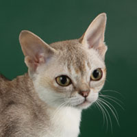 12th Best Kitten - GC, DW WINTERGARDEN'S PRECIOUS - Ow: Henny & Jos Wintershoven