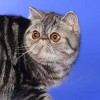 17th Best Kitten - GC, DW SWEET MELODY SILVER - Br/Ow: Alexandra Bogomolova
