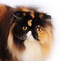 3rd Best Cat in Premiership - GP, DW BIRSTEIN CELINE D'OR - Ow: Leena Laakso
