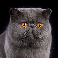 12th Best Cat in Premiership - CH, GP, RWIXIDIXI'S CRAZY FOR YOU