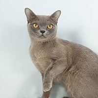 2nd Best Cat in Championship - GC BW NW LyuboBurm Shaula