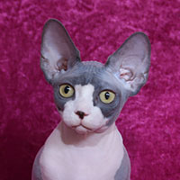2nd Best Kitten - RW DEDEN LOVER IPHIGENIE