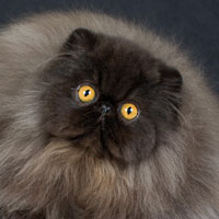 8th Best Kitten - GC, RW Haendel's Cuore Mio of Mirage Blanc