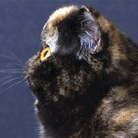 14th  Best Cat in Championship - GC, RW DARK DIAMOND'S STAR'S SHINING